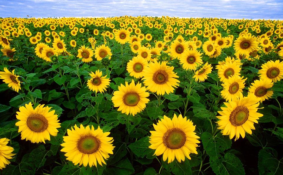 sunflower-11574_960_720